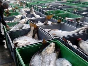 pesca-masacre-corvinas